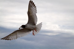 Swallow tailed gull in the Galpagos Islands Royalty Free Stock Photos