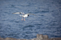 Swallow-tailed gull getting ready to land on a cliff. Royalty Free Stock Image