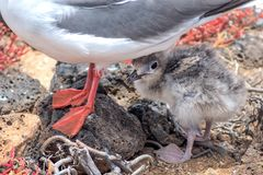 swallow-tailed-gull with its chick on Isla Plaza Sur, Galapagos, Ecuador