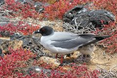 Swallow-tailed-gull with its chick on Isla Plaza Sur, Galapagos, Royalty Free Stock Photo