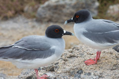 Swallow-tailed gull pair Stock Images