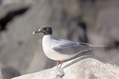 Swallow-Tailed Gull on a Rock Royalty Free Stock Photo