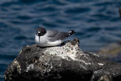 Swallow-tailed gull royalty free stock images
