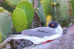 Free Swallow-tailed Gull Sleeping Royalty Free Stock Image - 76761646