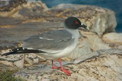 Swallow-tailed Gull in South Plaza Island Royalty Free Stock Photos