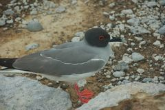 Swallow-tailed Gull in South Plaza Island Royalty Free Stock Photo