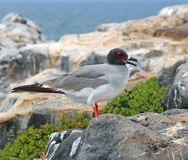 Swallow Tailed Gull. Standing on a rock on South Plaza Island in the Galapagos Stock Images