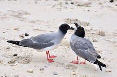 Swallow-tailed Gulls Stock Photo
