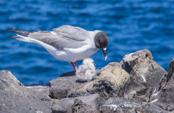 Swallow-tailed Gulls with Baby Chick Royalty Free Stock Photo
