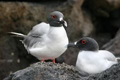 Swallow Tailed Gulls, Galapagos Royalty Free Stock Photos