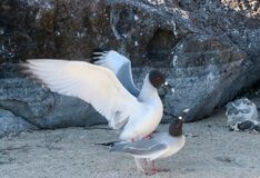 Swallow-tailed gulls in Galapagos.