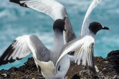 Swallow-tailed Gulls, Galapagos Islands Ecuador Stock Image