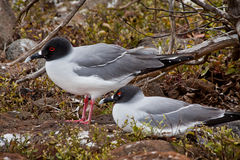 Swallow tailed gulls in the Galpagos Islands Royalty Free Stock Image