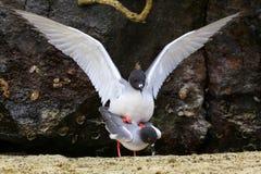 Swallow-tailed Gulls mating on Genovesa island, Galapagos Nation Stock Photography