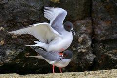 Swallow-tailed Gulls mating on Genovesa island, Galapagos Nation Royalty Free Stock Image