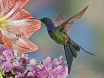Swallow-tailed Hummingbird stock images