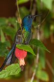 Swallow-tailed Hummingbird. Perched, Brazil endemic Royalty Free Stock Images