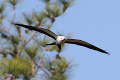 Swallow-tailed Kite. (Elanoides forficatus) in flight with nesting material in the Florida Everglades Stock Photography