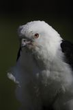 Swallow-tailed Kite Royalty Free Stock Photography