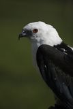 Swallow-tailed Kite Stock Photo