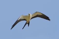 Swallow-tailed Kite (Elanoides forficatus) royalty free stock photo