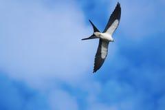 Swallow-tailed Kite (Elanoides forficatus) Stock Image