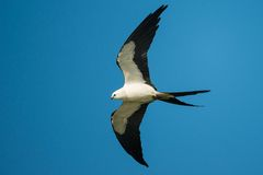 Swallow tailed kite in flight Stock Image