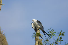 Swallow-tailed Kite preening. A Swallow-tailed Kite preening in the tree tops early one morning Stock Photo