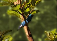 Swallow tanager Royalty Free Stock Images