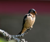 Swallow on tree branch Royalty Free Stock Images