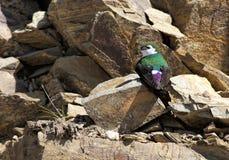 Swallow verde viola Fotografia Stock Libera da Diritti