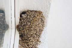 Swallow watching from nest Royalty Free Stock Photo