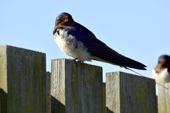 Swallow watcing Royalty Free Stock Photography