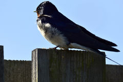 Swallow watcing Royalty Free Stock Photo