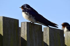 Swallow watcing Stock Photo