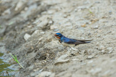 Swallow waterfront Royalty Free Stock Photography