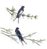 Swallow on willow tree. Hand drawn illustrations. Bird on willow tree. Hand drawn illustrations Royalty Free Stock Images