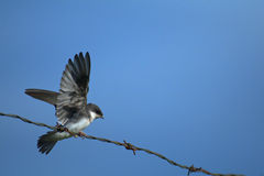 Swallow on a wire Royalty Free Stock Images