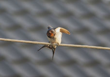 Swallow on the wire Royalty Free Stock Photos