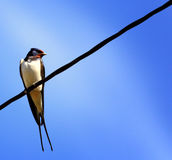 Swallow on a wire on a blue background Royalty Free Stock Images