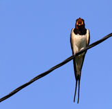 Swallow on a wire on a blue background Stock Photography