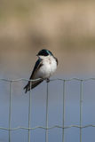 Swallow on a Wire Fence Stock Images