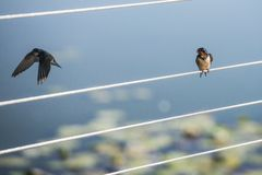 Swallow on a wire looking at another leaving. Royalty Free Stock Photography