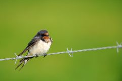 Swallow on a wire in the rain. A Swallow on a wire in the rain Royalty Free Stock Image