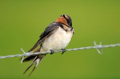 Swallow on a wire in the rain. A Swallow on a wire in the rain Royalty Free Stock Photo