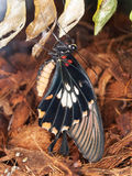 Swallowrail butterfly hatching from pupa - Papilio anchisiades Royalty Free Stock Image