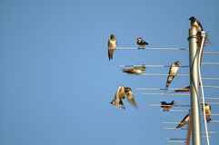 Swallows. Sitting on an antenna Stock Photo