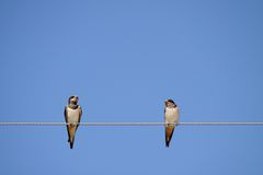 Swallows Stock Images