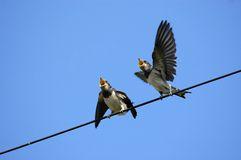 Free Swallows Stock Photo - 2940020