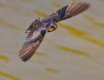 swallows Immagini Stock Libere da Diritti